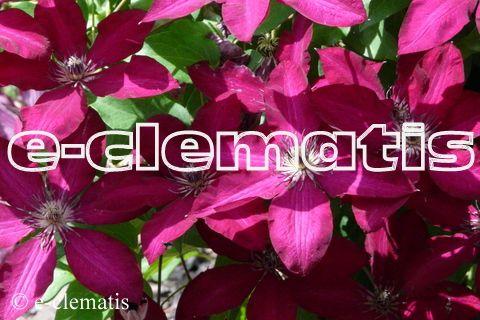 Clematis Solidarnosc Clematis Plants