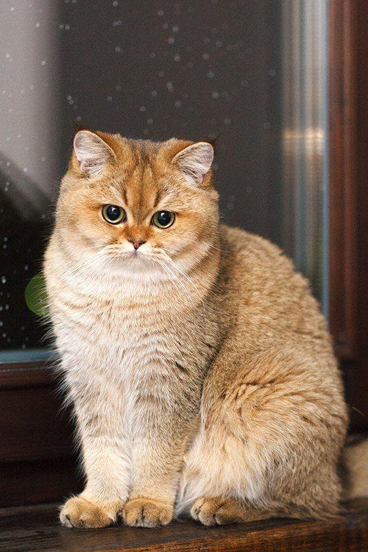 Myata Cats Bri Cats British Shorthair Ny 25 British Golden