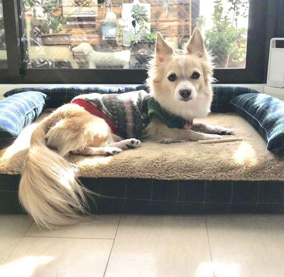 犬のベッド アンベルソ公式ブログ チワックスのハクくん7歳です