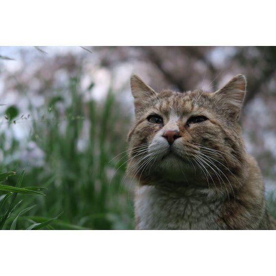 todays cat7  2016.04.11 #僕らの居場所は言わにゃいで #고양이 #ネコ #cat #ねこ #野良猫 #ねこら部 #のらねこ部 #gatto #のらねこストーカー部 #猫写真 #ふわもこ部 #streukatze #gato #kot #貓 #Кот #Pusa #Katt #Kucing #catstagram #canon #_g7x_ #コンデジ by zengocat
