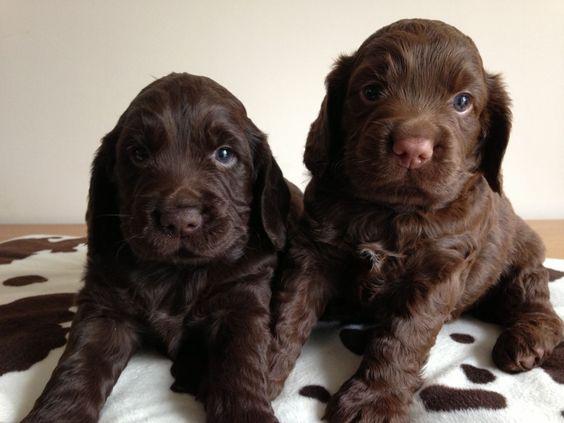 cockerspaniel puppies chocolate chocolate cocker spaniel