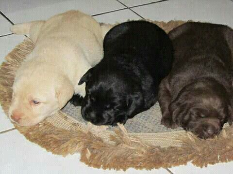 three labrador retriever puppies