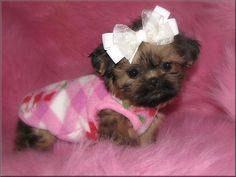 Teacup Shih Tzu Puppies | Tzu, Imperials, Teacup, Toy, Miniature or Tiny Pocket Shih Tzu puppies ...