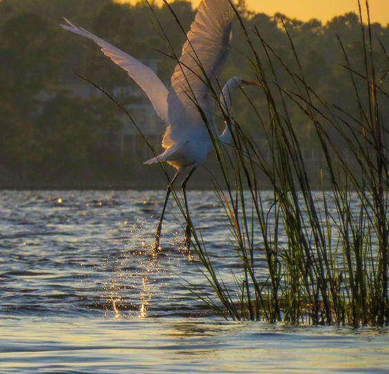 Great Egret in the White Oak River