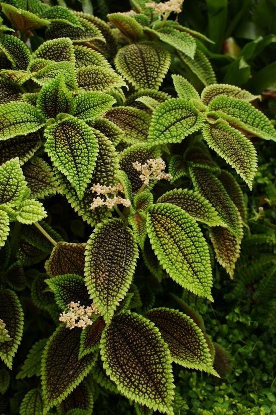 Pilea involucrata moon valley pilea friendship plant for Plante pilea