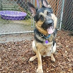 Pictures Of Kaiser A German Shepherd Dog For Adoption In Seattle