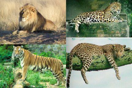 Cheetah vs lion vs tiger - photo#4