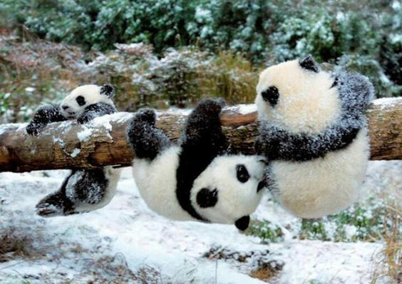"Three Cute Panda Cubs: ""Triplet Pandas are we, playing on this log-tree!  Because now is our playtime, you see!""  (Short Poem Written By: Lynn Chateau © )"
