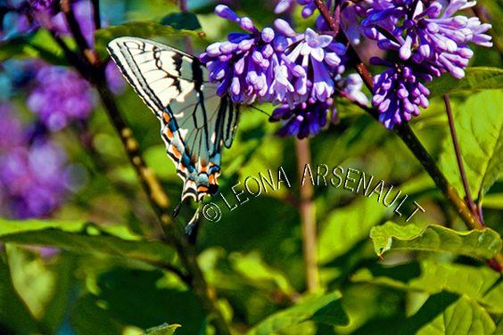 Prince Edward Island Flowers | CANADA;PRINCE_EDWARD_ISLAND;BUTTERFLY;LILACS;FLOWERS;INVERTEBRATES ...