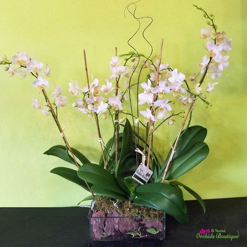 Bright Light In Glass Phalaenopsis Orchid Arrangement Orchid Arrangements Phalaenopsis Orchid Orchids