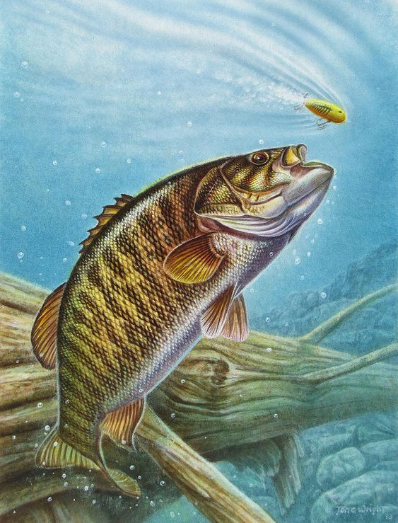 Smallmouth bass painting smallmouth bass fine art print for Bass fish painting