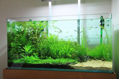 90cm水槽のブリクサのトリミング みゆきザンス的ブログ 水槽 アクアリウム 熱帯魚