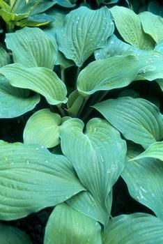 Dragon's Eye Hosta