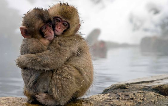 Japanese Macaque babies holding each other