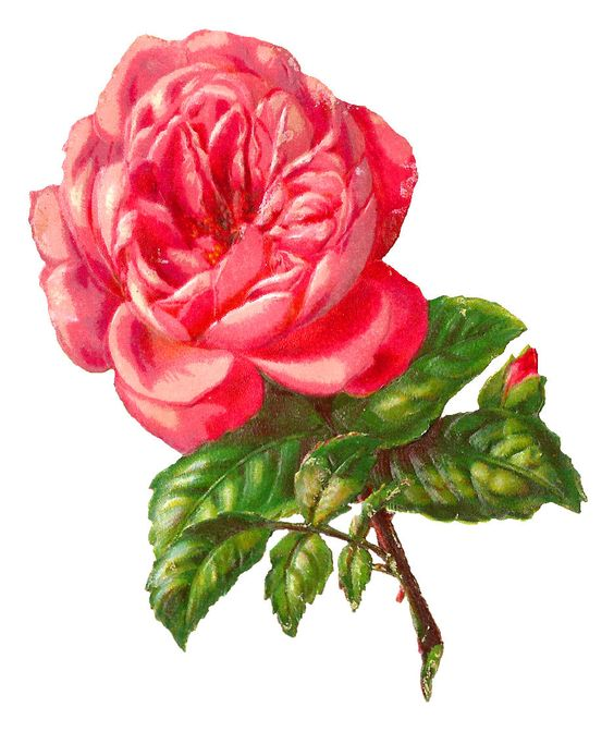 pink rose illustration: