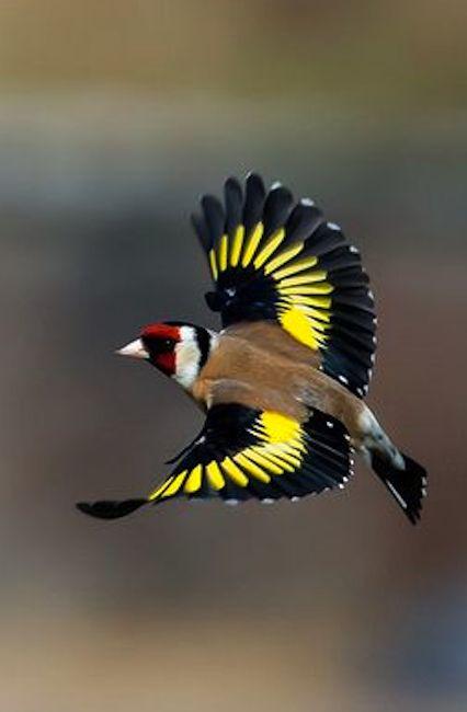 O Pintassilgo europeu ou pintassilgo (Carduelis carduelis) em vôo. É um pequeno pássaro passeriforme na família Fringillidae que é nativa da Europa, Norte da África e Ásia Ocidental. Foi introduzido em outras áreas, incluindo Austrália, Nova Zelândia e Uruguai.  Fotografia: Mick Nolan.: