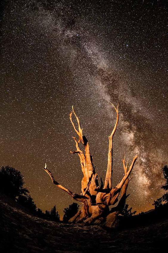 The Milky Way Galaxy rises above the oldest living organism on earth, a Bristlecone Pine, high in the mountains of California. Shining a flashlight all over the tree for a few seconds during exposure lights up the tree and creates a more dynamic photo.