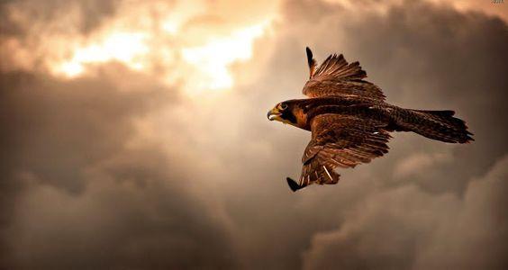IMAGENS753: Falcao-voando