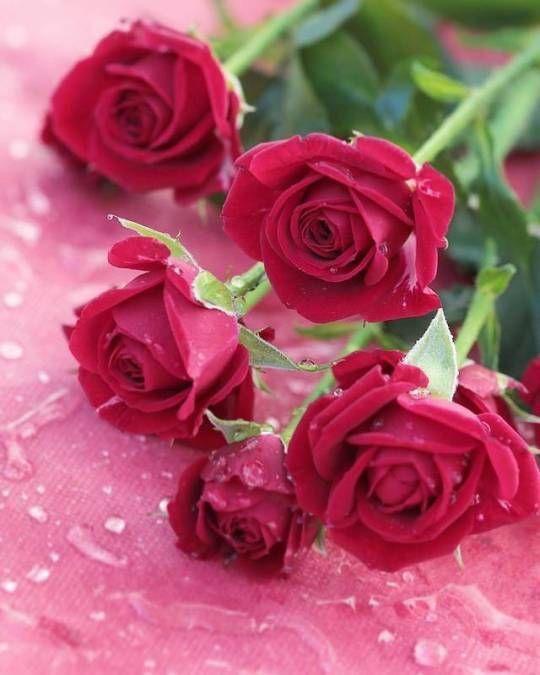 Flowers In Dubai Beautiful Rose Flowers Beautiful Roses Pretty Flowers