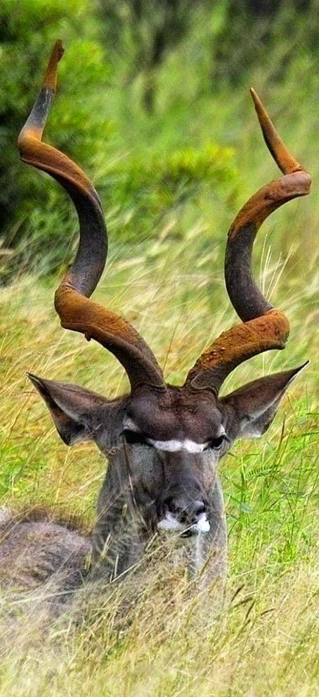 Beautiful Kudu Bull - Africa