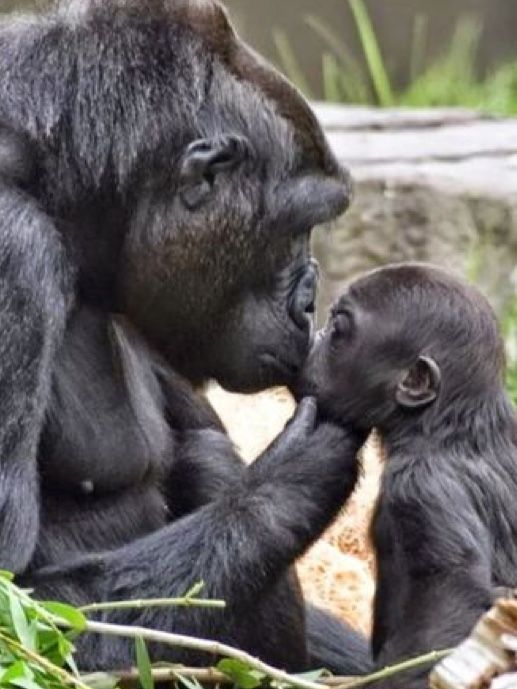 Gorilla mom with her infant #gorillas #motherslove