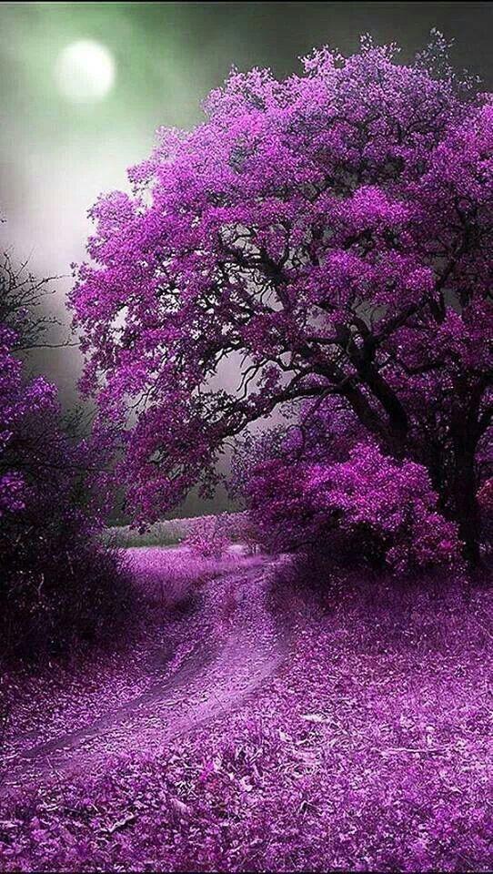 PATHWAYS: violet pathway beckons ... Beautiful flowering tree