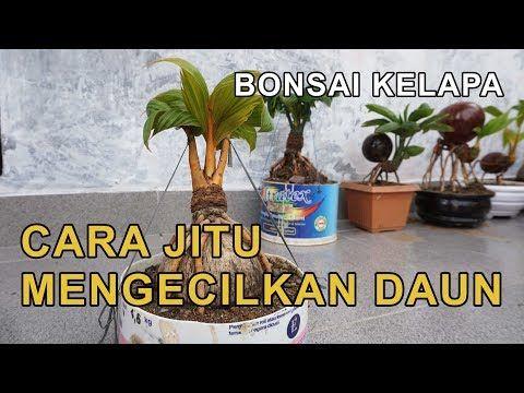 Cara Jitu Mengecilkan Daun Kelapa Bonsai Youtube Bonsai