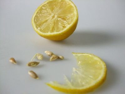 How to start lemon seeds indoors gardens fruits and for How to get lemon seeds to grow