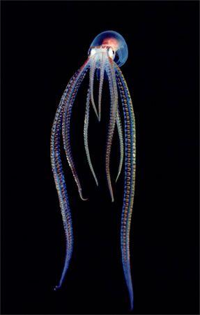 Translucent Sea Creatures. So cool.