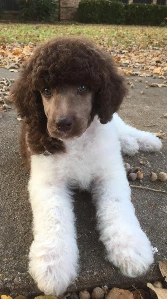 Cute And Awesome Puppy Standard Poodle Brown And White Color