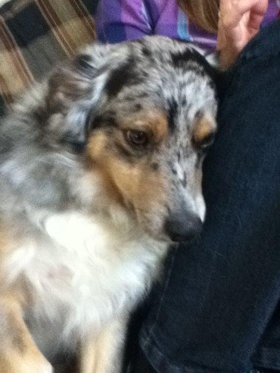 This is Calvin, My mini australian shepherd :)
