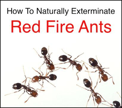 Natural Remedy For Red Ants