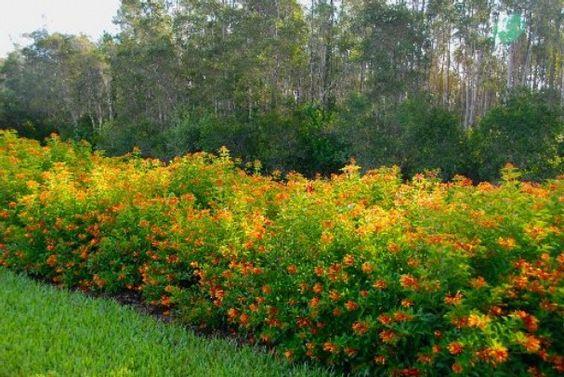 Gardening in South Florida: South Florida Hedge Plants v.I