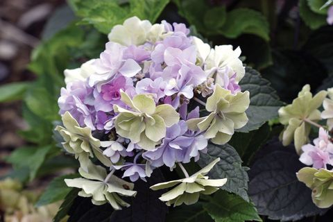 How To Get More Hydrangea Flowers Hydrangea Flower Garden Shrubs Flowers
