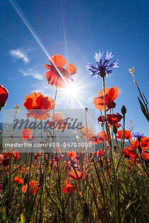 Low Angle View of Corn Poppies (Papaver rhoeas) Backlit by Sun, Piano Grande, Monti Sibillini National Park, Umbria, Italy  – Bild © F. Lukasseck / Masterfile.com: Kreative Stock-Fotografie, Vektoren und Illustrationen für Internet-, Print- und Mobile-Nutzung