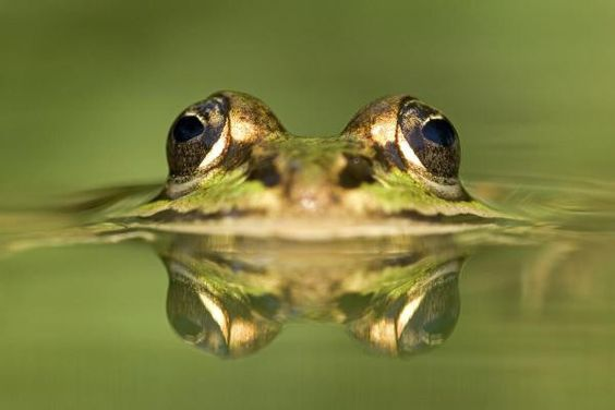 Edible Frog With Reflection, Germany by Arndt, Ingo - Wall Art Giclee Print or Canvas