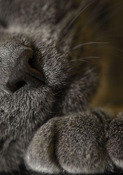 Gray cat ~ close up