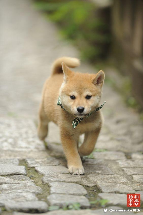 shiba inu puppy | Khaos... dog stuff | Pinterest | Shiba ...