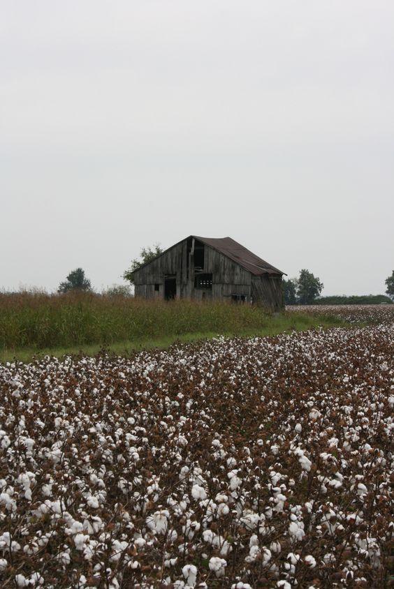 Cotton Field in Arkansas/Sept 2012/TN
