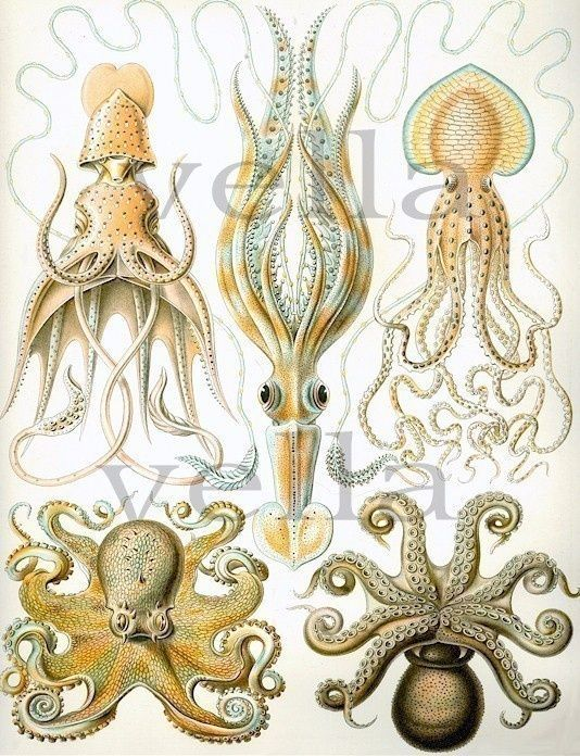 ocean amimals Squid Octopus  sea creatures by VellasCollageSheets, #Amime