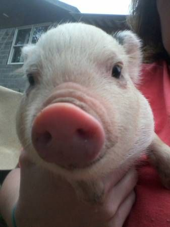 Mini potbellied pig!