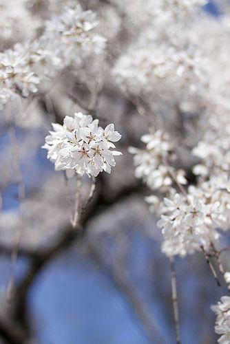 sakura by yocca, via Flickr