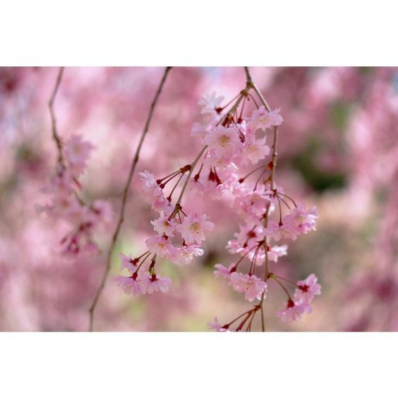 Online Orchards Double Blossom Pink Weeping Cherry Tree Bare Root Flwc002 The Home Depot Weeping Cherry Tree Ornamental Cherry Blossom Trees