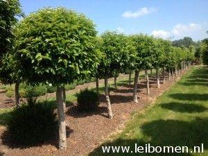 Groenblijvende bomen. De Prunus lusitanica, ofwel Portugese laurier is ...