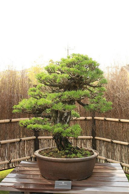 黒松 Kuro-matsu (Black Pine) - 盆栽美術館 - bonsai museum | Flickr - Photo Sharing!