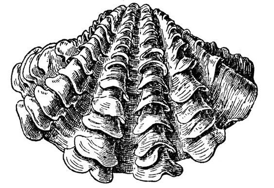 Clam Drawing | Giant Clam | Crafts | Pinterest | Clams ...