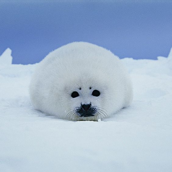 「Photo by #BrianSkerry A harp seal pups rests on the ice in Canada's Gulf of St. Lawrence. At about 2 weeks old and now weaned from their moms, these pups…」