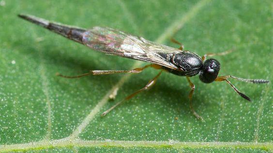 ムシをデザインしたのはダレ?: ハチ目:Macroteleia sp.