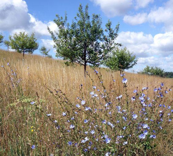 Die Wegwarte (Cichorium intybus) Ton in Ton mit dem Himmel und in Harmonie mit den strohigen Samenständen des Glatthafers.