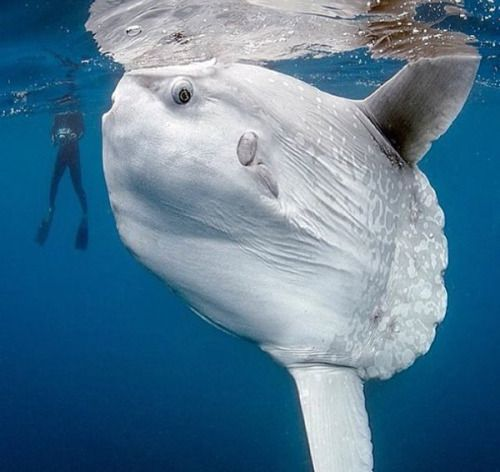 Pinterest the world s catalog of ideas for Mola mola fish